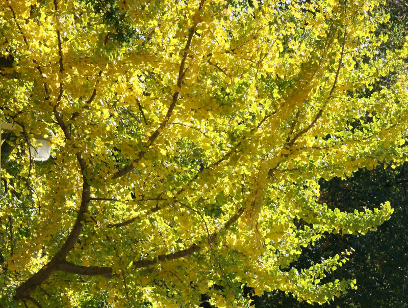 Ginkgo Tree Foliage