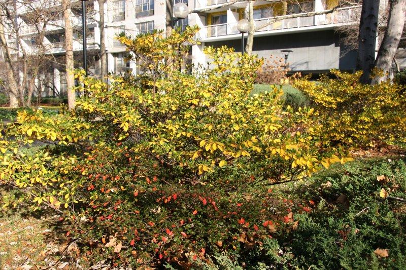 Garden View - Azalea, Pyracantha & Juniper