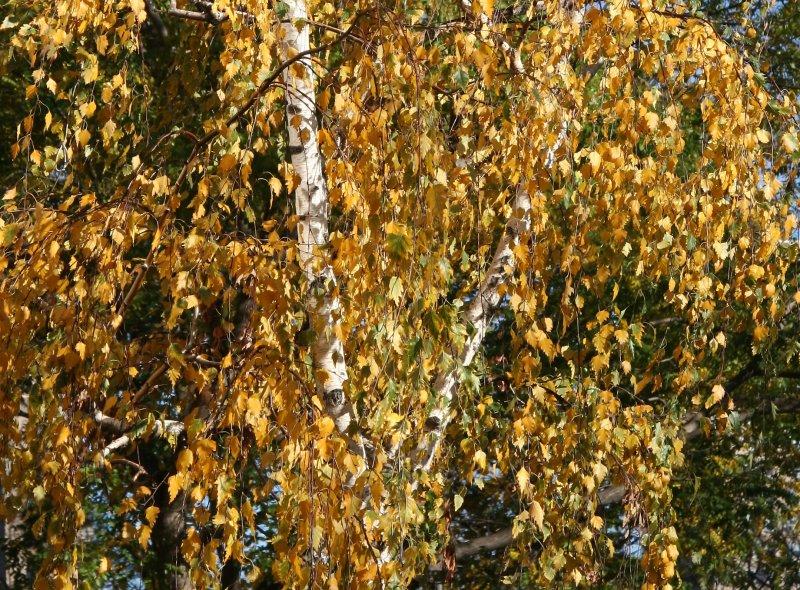 Birch Tree Foliage