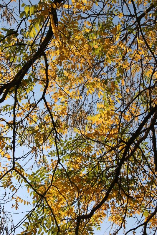 Scholar Tree Foliage