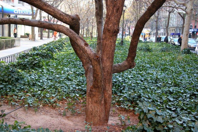 Apple Tree Trunk