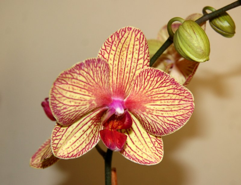 Orchids - Phalaenopsis