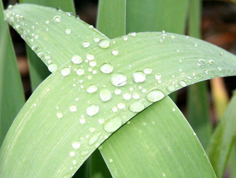 Iris Foliage in the Rain