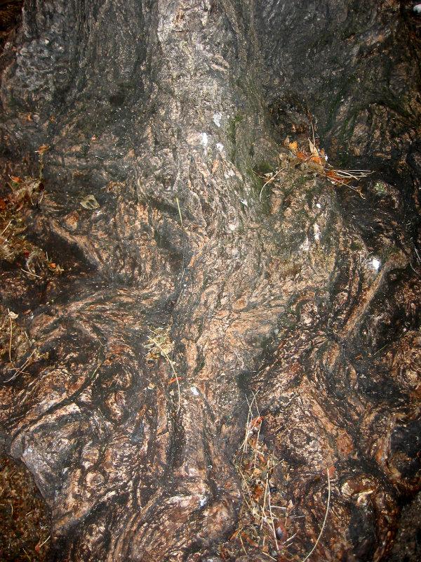 Locust Tree Trunk