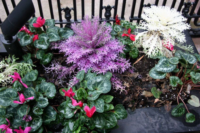 Ornamental Cabbage & Cyclamen