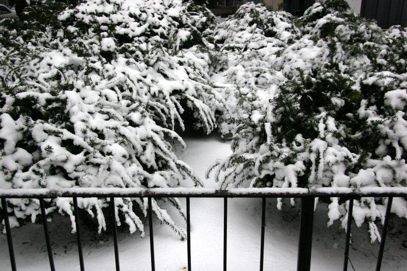 Snow on Juniper Bushes