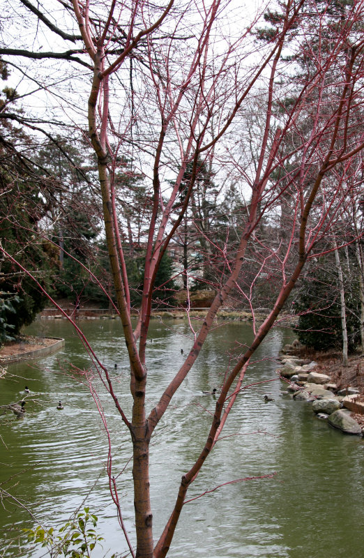 Japanese Pond Garden - Maple Tree
