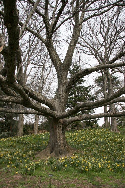 Oak Tree on Daffodil Hill