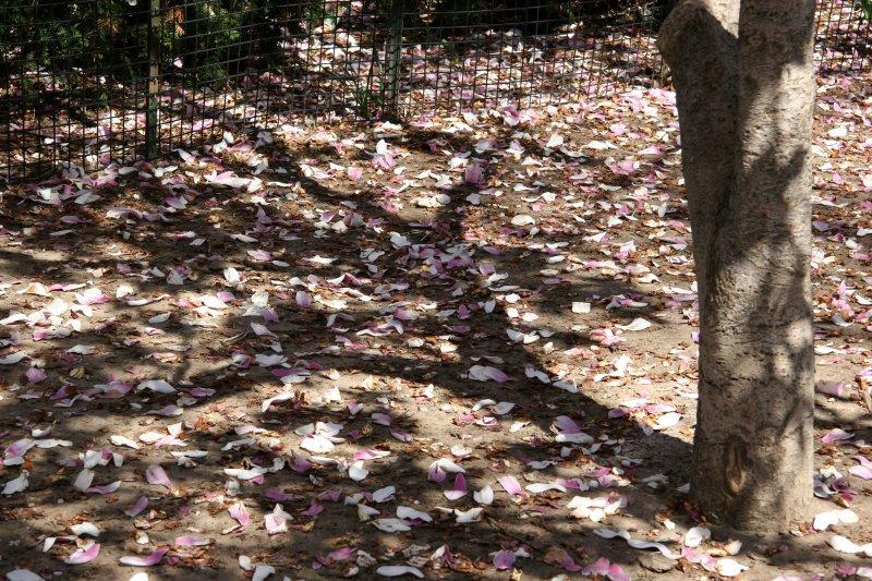 Fallen Magnolia Flower Petals