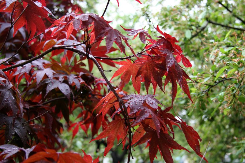 Japanese Red Leaf Maple
