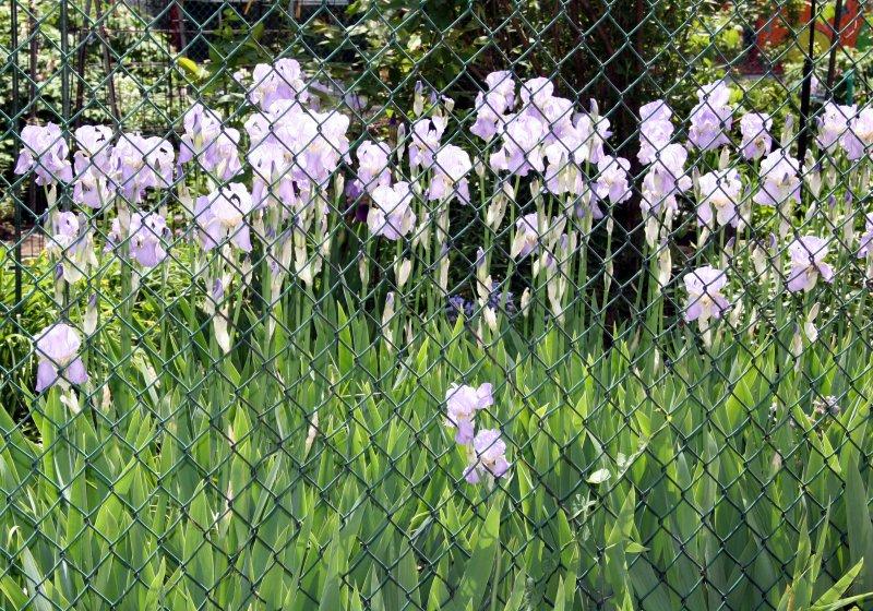 Iris through a Chain Link Fence
