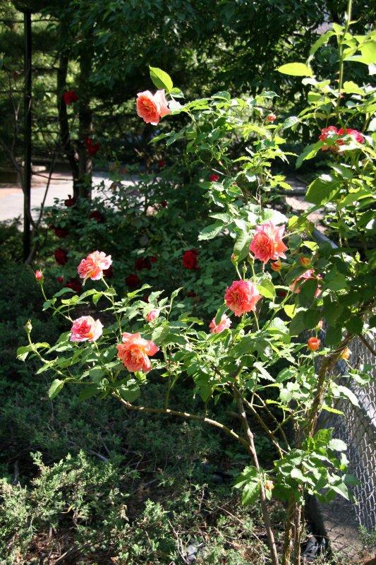 Peach Pink Rose Bush
