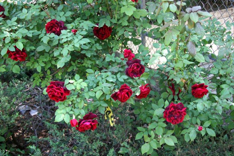Velvet Red Rose Bush