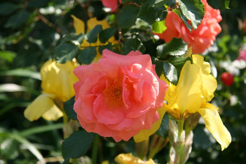Citrus Tease Roses & Yellow Iris