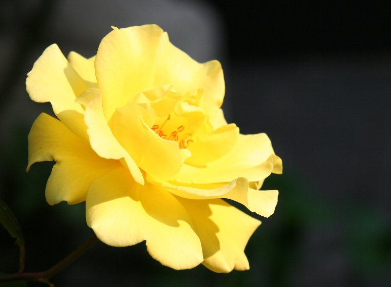 Saint Marks Churchyard - Yellow Rose