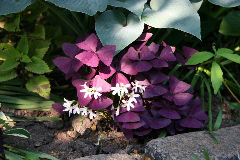Garden - Oxalis Blossoms