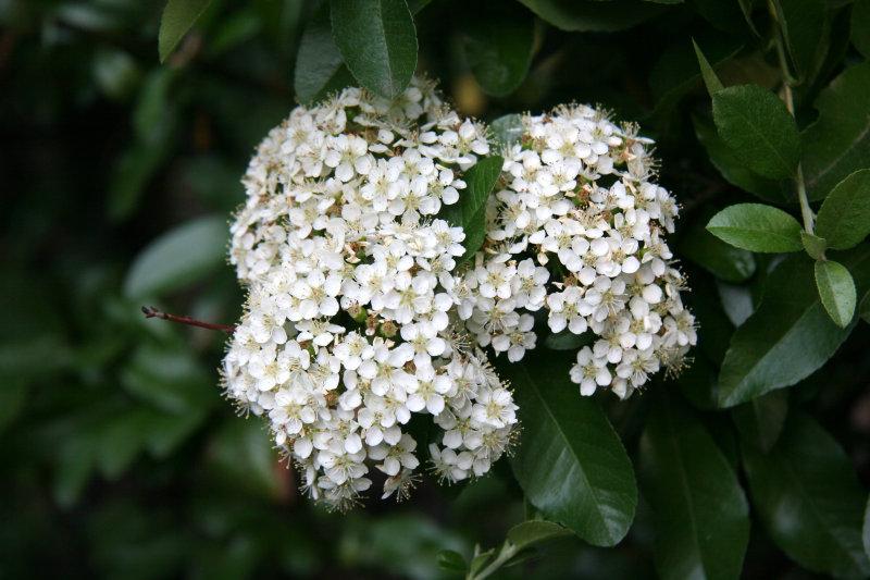 Garden - Pyracantha Blossoms