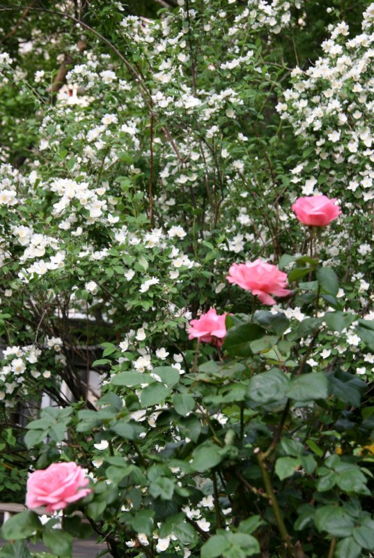 Pink Roses & Mock Orange Bush