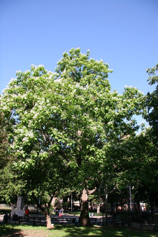 Catalpa Tree in Bloom