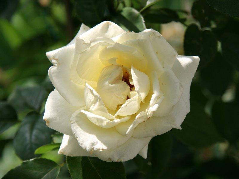 JFK Rose