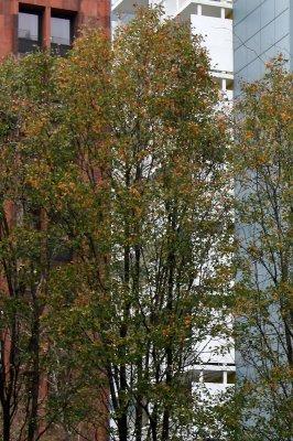 Pear Trees & NYU Housing & Library