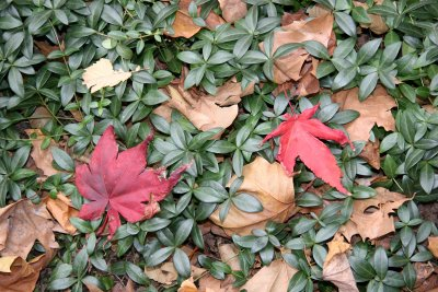 Ground Cover - Myrtle & Loose Foliage