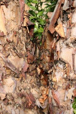 River Birch or Betula nigra (Tropical)