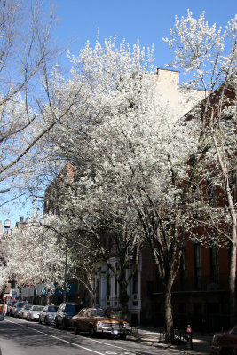 West View toward 3rd Avenue - Pear Trees in Bloom