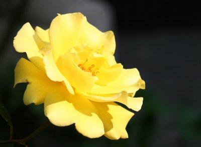 Saint Marks Churchyard - Yellow Rose