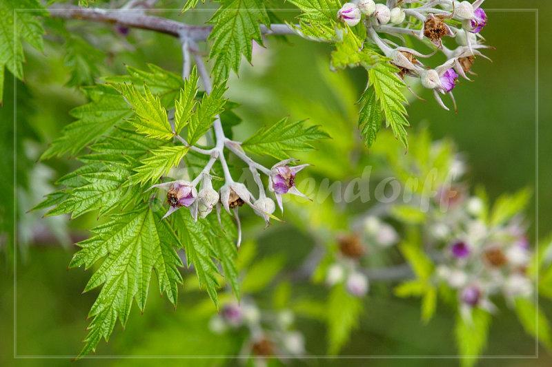 Rubus ludwigii, Rosaceae