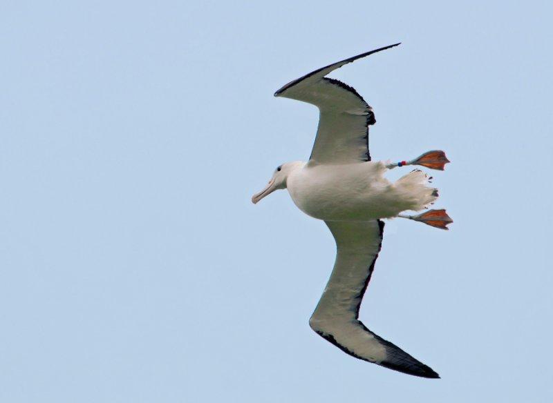 Royal Albatros