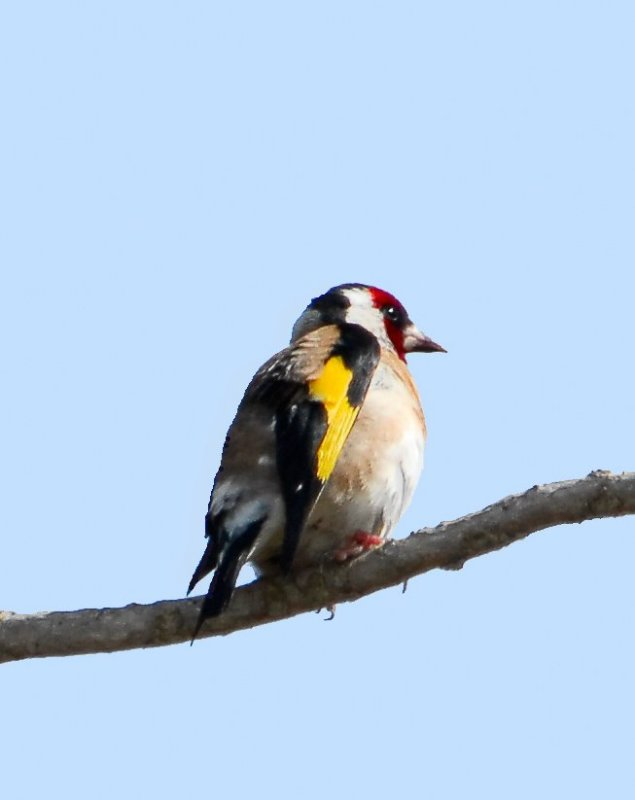 European Gold Finch