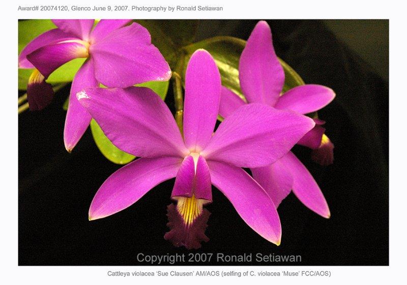20074120 - C violacea Sue Clausen AM/AOS 85 pts.