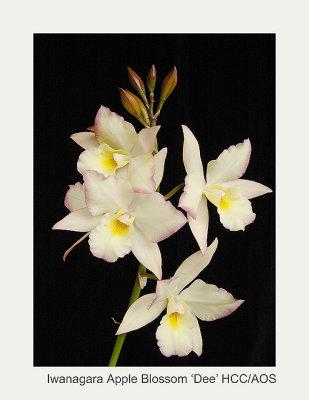20074113 - Iwanagara Apple Blossom Dee HCC/AOS (79pts)