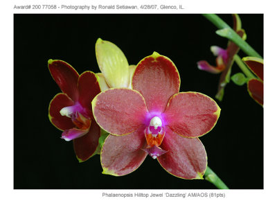 20077058 - Phalaenopsis Hilltop Jewel Dazzling AM/AOS (81pts)