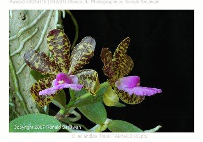20074115 - Cattleya aclandiae Paul II AM/AOS (83pts)