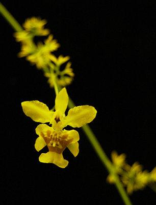 20074123 - Oncidium broyolophatum Rory Alyssa  CHM/AOS 83 pts.