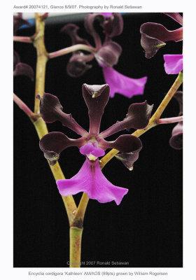 20074121 - Encyclia cordigera Kathleen AM/AOS 89 pts.