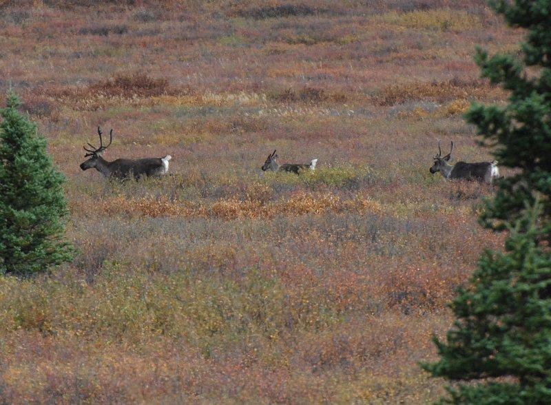 Caribou - Denali Park