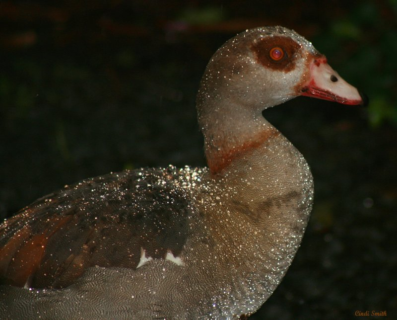 EGYPTIAN GOOSE - THANK YOU, DAN AND LEE!
