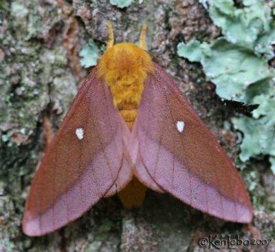 Pink-striped Oakworm Moth Anisota virginiensis #7723