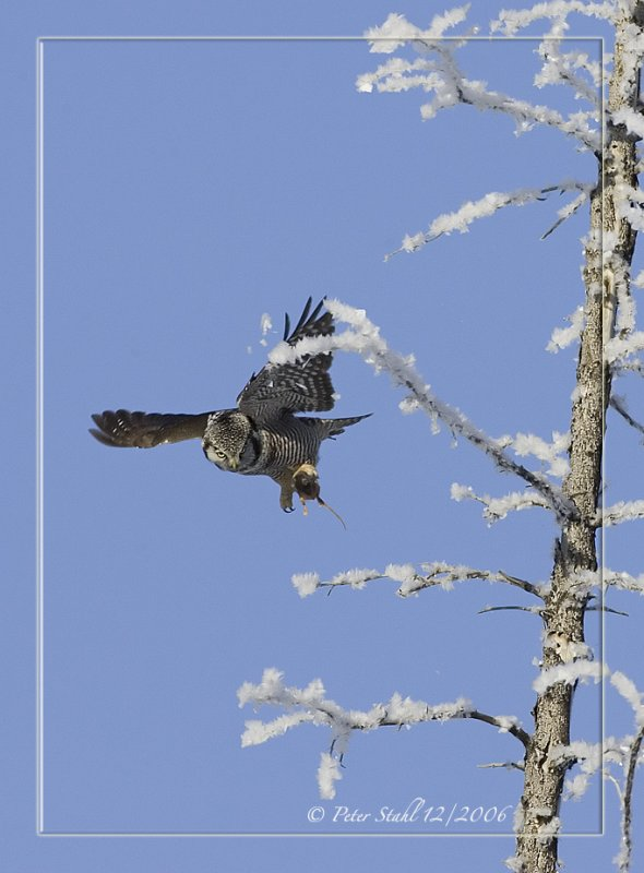 Frosted trees Northern Hawk Owl.jpg