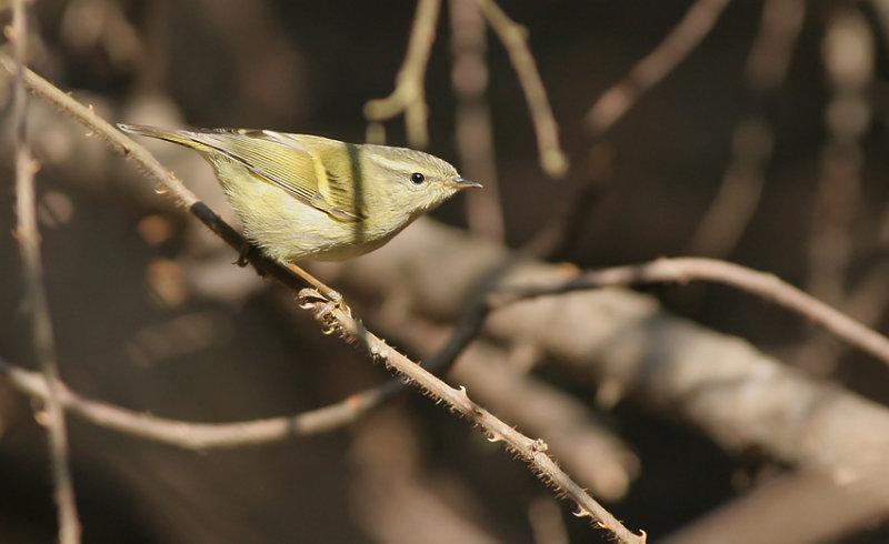 Buff barred warbler
