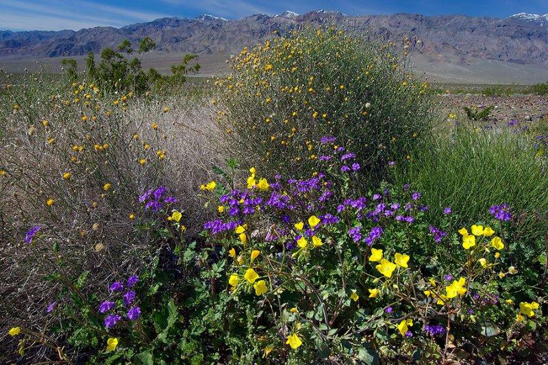 Death Valley Spring Flowers.jpg
