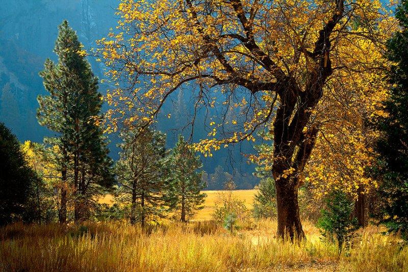 Golden Oak in Yosemite Valley.jpg