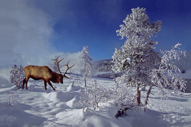Elkbull in Winter.jpg