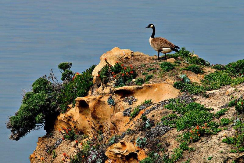 Wild Goose on the Pacific Coast.jpg