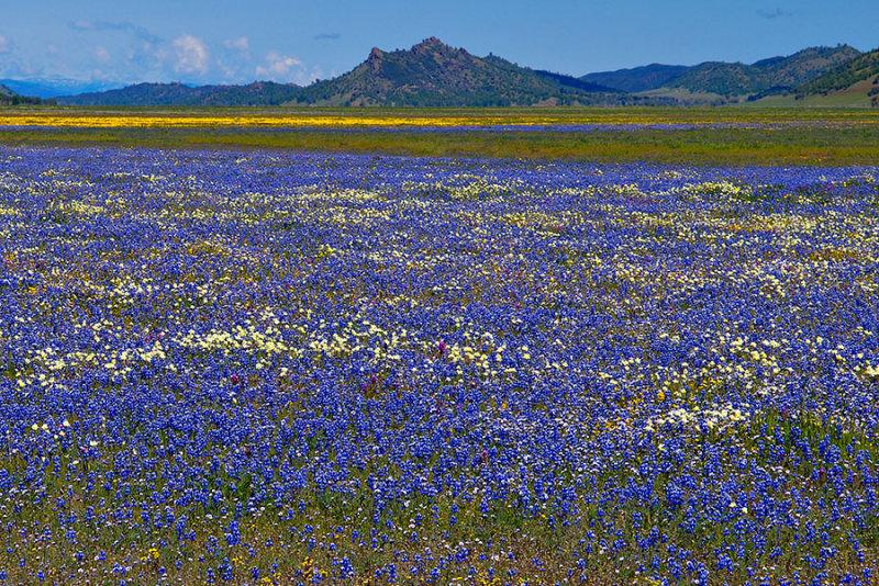 Lupin Meadow in Bear Valley.jpg