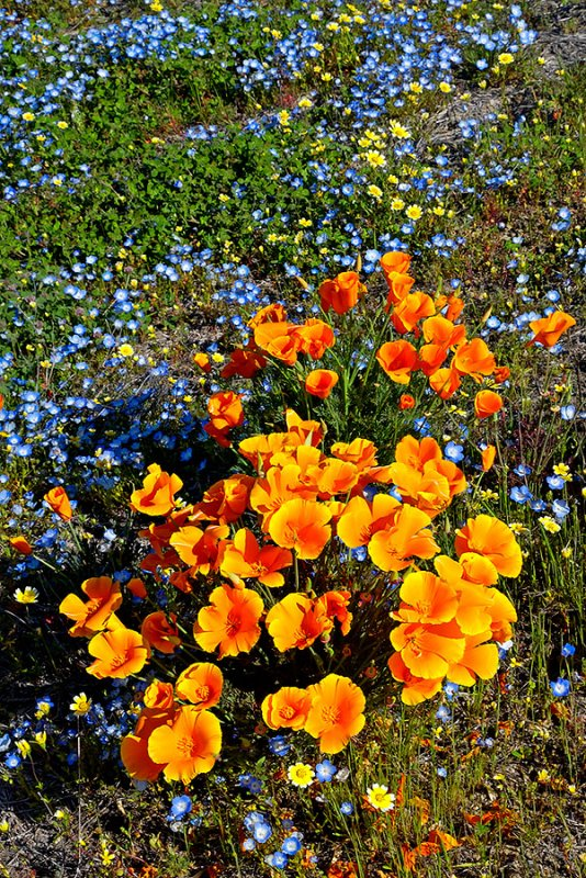 California Poppies and Baby Blue Eyes.jpg