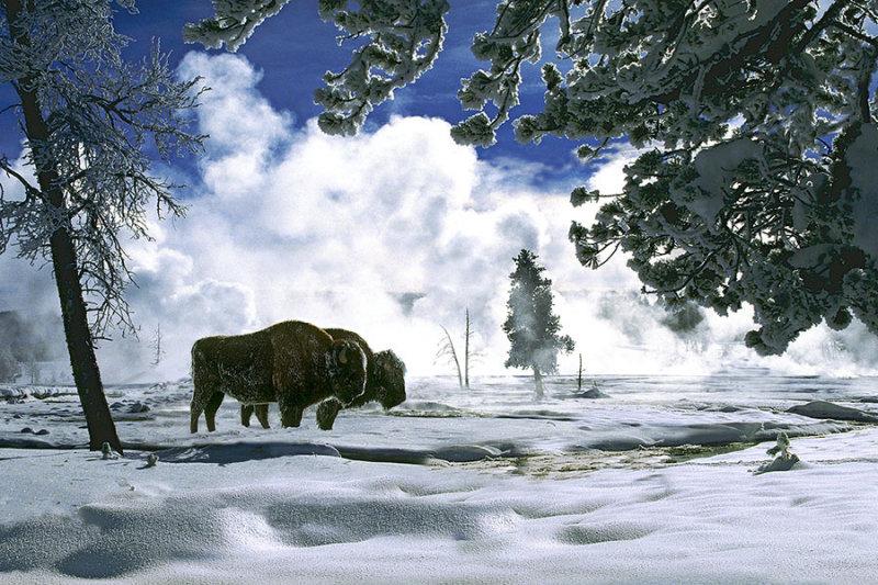 Bisons in Winter.jpg